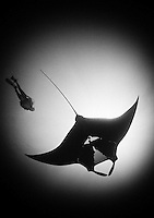 QT2149-Dbw1. Manta Ray (Manta birostris) and scuba diver (model released). Baja, Mexico, Pacific Ocean. Color photo converted to black and white.<br /> Photo Copyright &copy; Brandon Cole. All rights reserved worldwide.  www.brandoncole.com