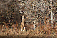 Whitetail buck in Wyoming riparian habitat (Odocoileus virginianus)