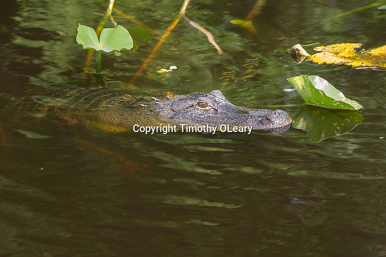Alligator lurking in the murky waters