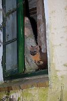 Baummarder, im Fenster eines alten Schuppen, Stallfenster, Baum-Marder, Edelmarder, Edel-Marder, Marder, Martes martes, European pine marten