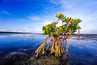 red mangrove, Rhizophora mangle, flats near Sands Cut between Sands Key and Elliot Key, Biscayne National Park, Miami, Biscayne Bay, Florida, USA, Caribbean Sea, Atlantic Ocean