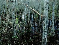 Cypress trees and bromeliad, Corkscrew Swamp Sanctuary, Florida, December 1998