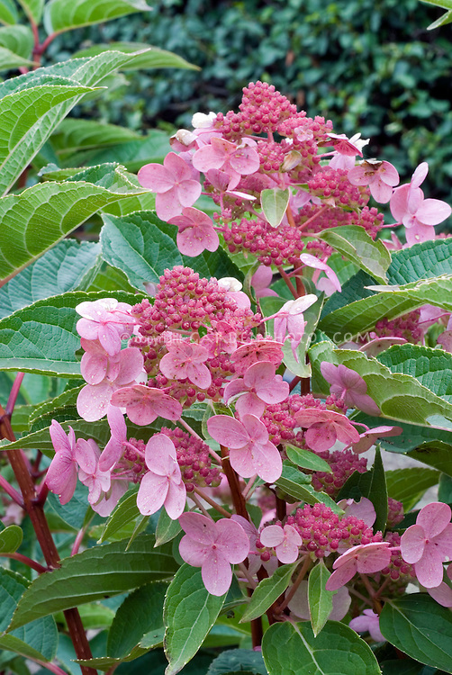 Hydrangea paniculata 'Dart's Little Dot'