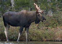 Bull Moose at Pond's Edge  #M64