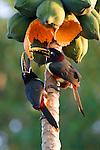Collared aracari, Pantanal, Brazil