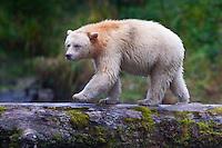 """Kermode """"Spirit"""" Bear walking across a moss covered log"""