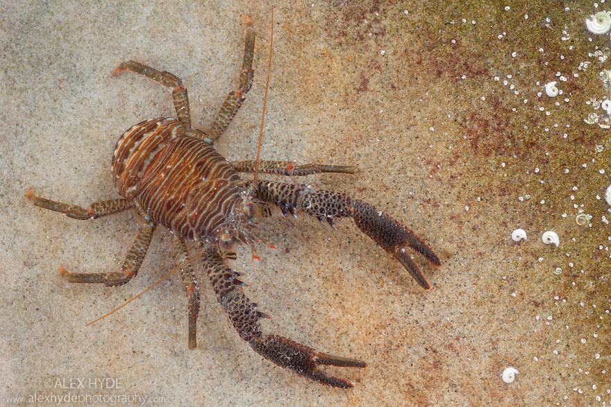 Squat Lobster {Galathea sp.} Northumberland, UK. May.