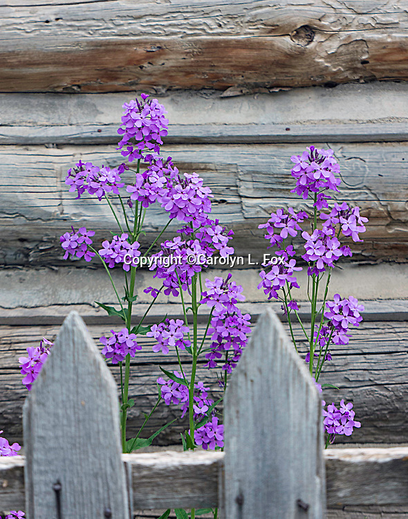 Purple flowers bloom behind a wooden fence.