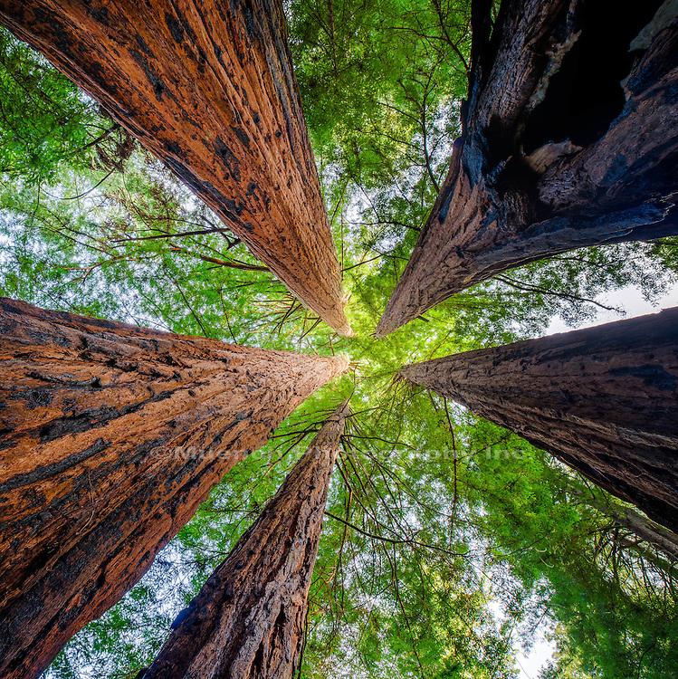 Coastal Redwoods, Big Basin Readwoods, California