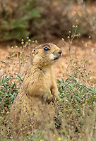 673030087 a wild utah prairie dog cynomys parvidens a federally threatened species in wild grasses and wildflowers in a small prairie dog town in bryce canyon national park utah