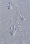 Emperor penguin foot prints, Antarctica