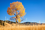 Aspen tree and grasses. Valle Vidal of northern New Mexico.