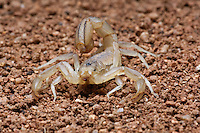 Stripe-taileded Scorpion (Vaejovis spinigeris); Sonoran Desert, Arizona