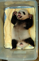 China World's Smallest Panda