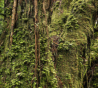 Old kahikatea trees in rainforest near Fox Glacier covered with moss and climbing southern rata, Westland Tai Poutini National Park, West Coast, UNESCO World Heritage Area, New Zealand, NZ