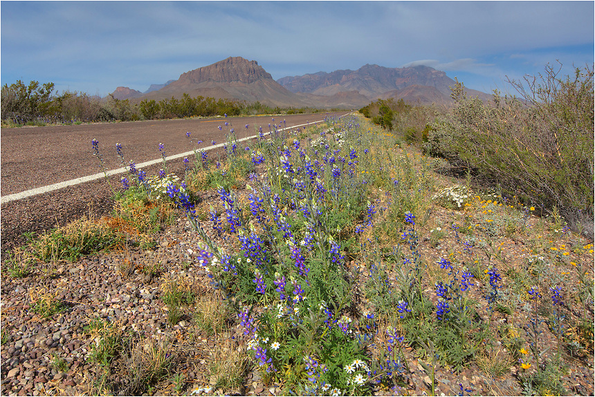 Heading west from the Rio Grande Lodge, bluebonnets line the road as you look towards the Chisos Mountains. Each spring, Big Bend images such as this are possible when the bluebonnets are blooming.