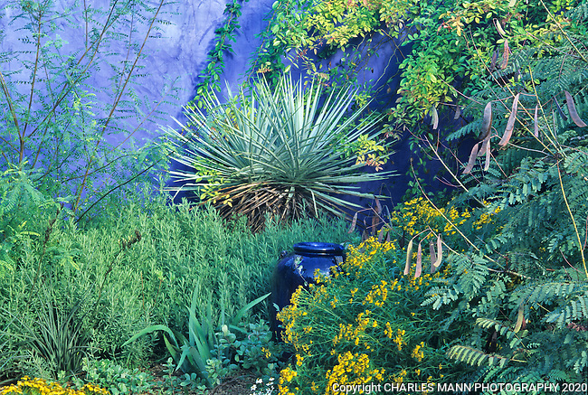Yuccas rosemary and other semitropical plants create an exotic atmosphere when combined with a blue colored wall created by Mike Shoup in the demonstration garden at his Antique Rose Emporium nursery in San Antonio, Texas.