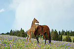 A wild horse calf stands resting on its mothers back as she grazes in a field in Pryor Mountains, Montana.
