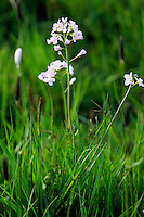 Cuckoo flowers growing among grass, Oxfordshire, England