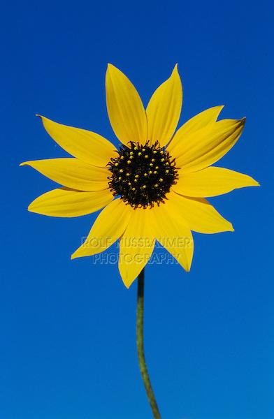 Sunflower, Helianthus sp., blooming with dew, Welder Wildlife Refuge, Rockport, Texas, USA