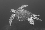 Cocos Island, Costa Rica; a large, male Green Sea Turtle (Chelonia mydas) swimming in the blue water of the open ocean