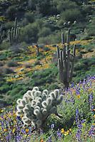 Teddy Bear Cholla Cactus (Opuntia bigelovii) Saguaro Cactus (Carnegiea gigantea) in field of Mexican Gold Poppy (Eschscholzia californica mexicana) and Desert Lupine (Lupinus sparsiflorus), Tonto National Forest, Bartlett Lake , Arizona, USA