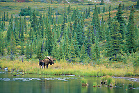 Bull moose by tundra pond, boreal forest, Denali National Park, Alaska