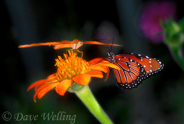 346200013  captive julia dryas julia and queen butterflies danus glippus share a wildflower in a butterfly garden in southern california