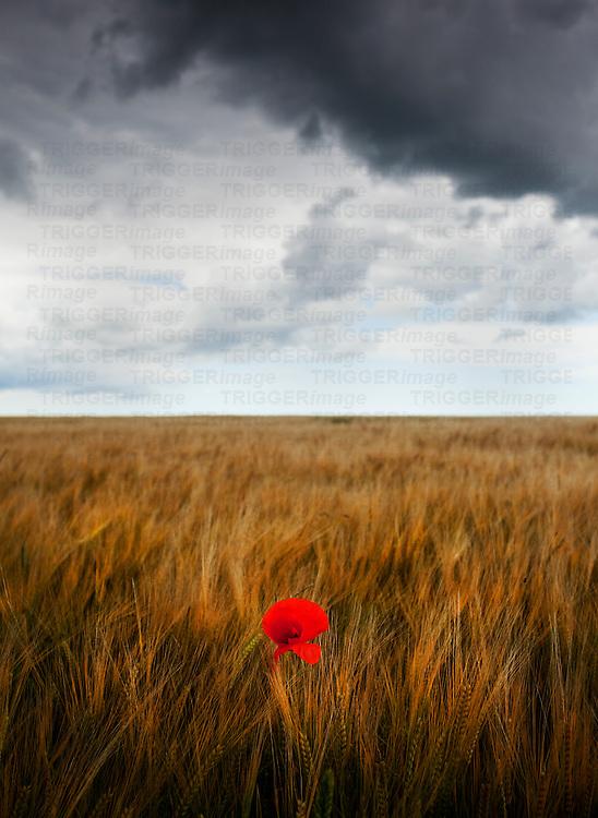 Poppy in field under stormy sky