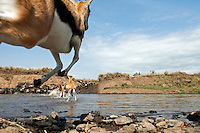 Thomson's Gazelles crossing a river during migration (Gazella thomsonii), Maasai Mara National Reserve, Kenya.