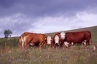 Hereford Cattle / Cows standing in a Pasture, British Columbia, Canada - Beef Cow Breed