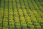 Spring mustard in vineyard