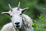 Mountain Goat, Portrait curious cute shaggy white goat eating brush full frame