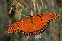 """The Gulf Fritillary or """"Passion"""" butterfly is orange & black sporting silver underwings. Laying eggs on or near passionvine, they are found in over 2/3 of the United States. Seen here near the ground with native Texas meadow grass.."""