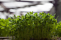 organic seedlings in a greenhouse in Homestead, Florida