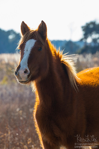 Assateague Horse, Chincoteague Pony, Assateague Island, Virginia