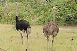 The male ostrich (Struthio camelus) has the darker feathers.  Kwara Reserve, Okavango Delta, Botswana