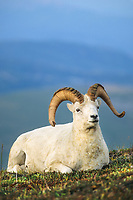 Dall sheep ram, Denali National Park, Alaska.