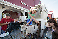 Kaitlyn Vevag, 14, prepares her goat Marzipan for veterinary inspection on entry day at the NW Washington Fair on August 16, 2009. PHOTO BY MERYL SCHENKER  ...