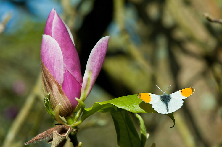 Orange tip butterfly (Anthocharis cardamines) on Magnolia x soulangeana 'Lennei', mid April.