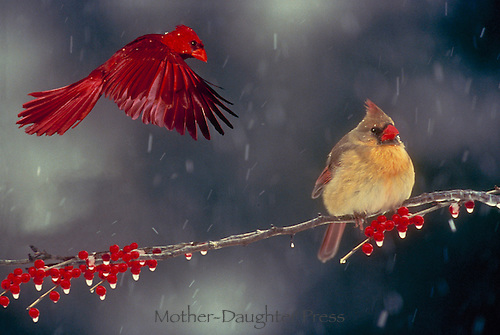 Male cardinal, Cardinal cardinalis, flying past female cardinal perched on branch in winter storm with red berries and ice