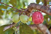 Syzygium malaccense, pomme canaque