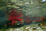 In a rarely seen view of the annual salmon spawn, a river full of sockeye go about their business of churning up the stream bed so the females can lay their eggs in a clean gravel bowl devoid of silt and sediment that would otherwise suffocate their eggs.<br /> Alaska Peninsula