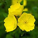 Evening primrose (Oenothera 'Crown Imperial'), end June.