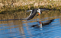 Black Skimmer in flight, along water surface with head pulled down as it comes out of water. Reflection is visible in water.