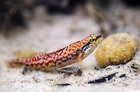 Brown Darter<br /> <br /> Isaac Szabo/Engbretson Underwater Photography