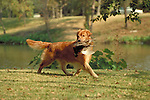 Golden Retriever bringing the bird back Shopping cart has 3 Tabs:<br /> <br /> 1) Rights-Managed downloads for Commercial Use<br /> <br /> 2) Print sizes from wallet to 20x30<br /> <br /> 3) Merchandise items like T-shirts and refrigerator magnets