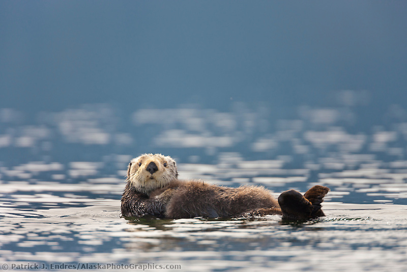 Sea otter, Prince William Sound, southcentral, Alaska