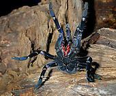 Cobalt Blue Tarantula (Haplopelma lividum), captive.