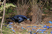 Male Satin Bowerbird (Ptilonorhynchus violaceus)  arranging ornaments at bower, Australian Capital Territory, Australia.